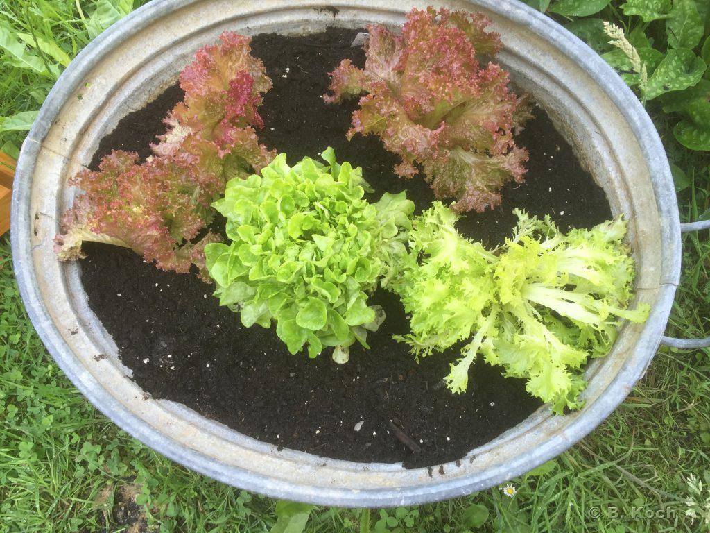 salatpflanzen_260616
