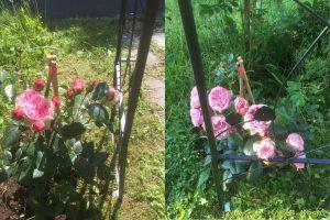 rosenbogen02